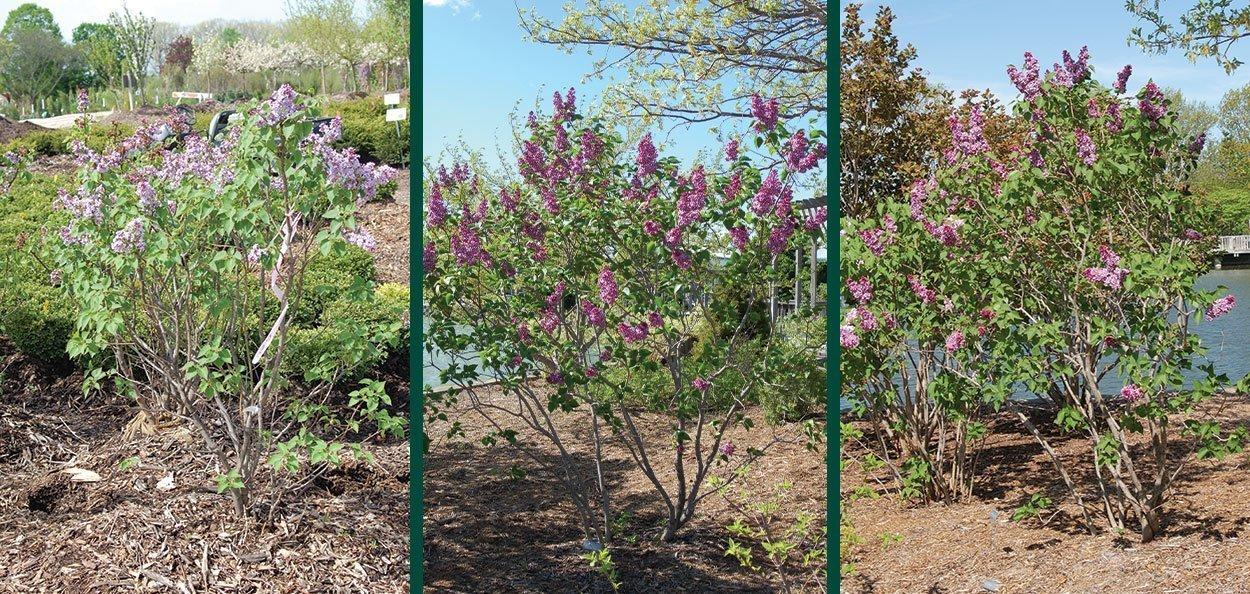 lilac shrubs for sale near you at johnson's nursery menomonee falls wisconsin
