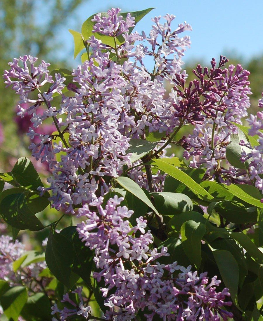 lilacs common purple lilac syringa vulgaris flowers
