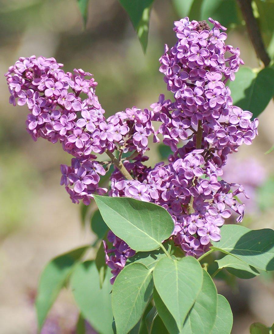 lilacs ludwig spaeth lilac syringa vulgaris