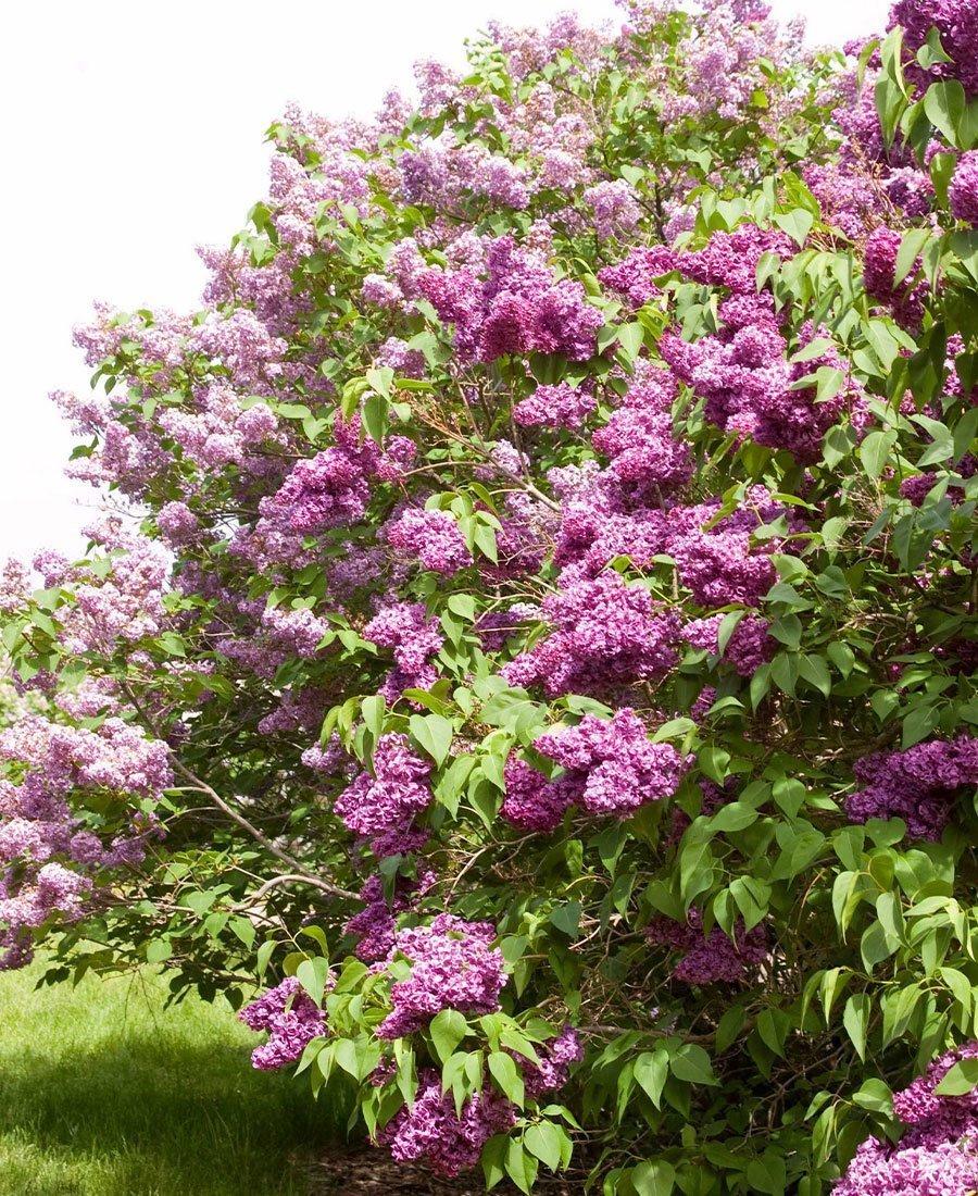 lilacs monge lilac syringa vulgaris