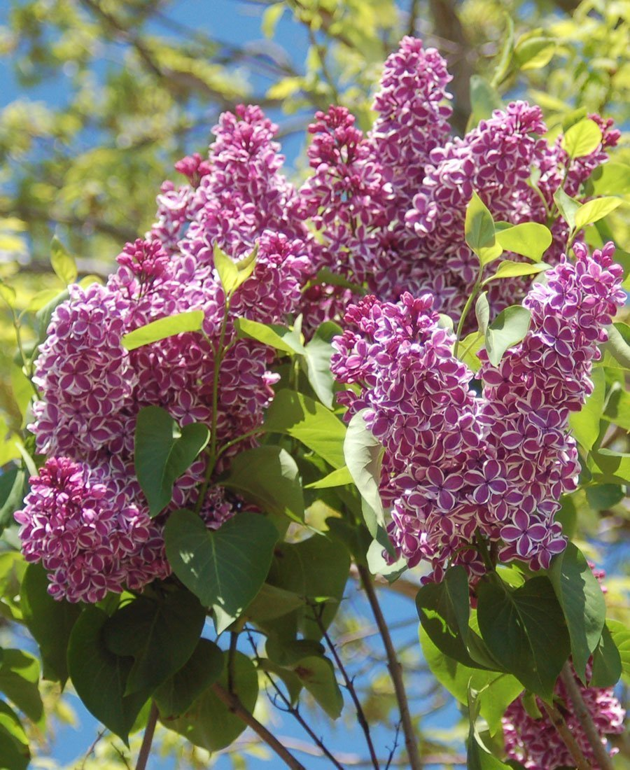lilacs sensation lilac syringa vulgaris