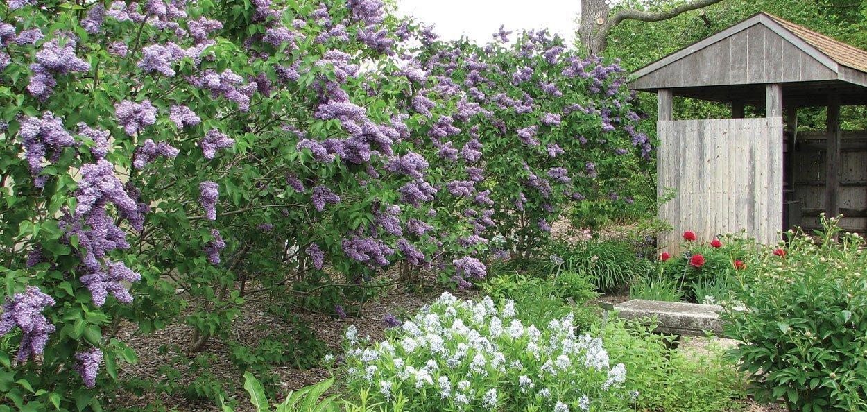 mature albert f holden lilac syringa landscape shrub with purple flowers
