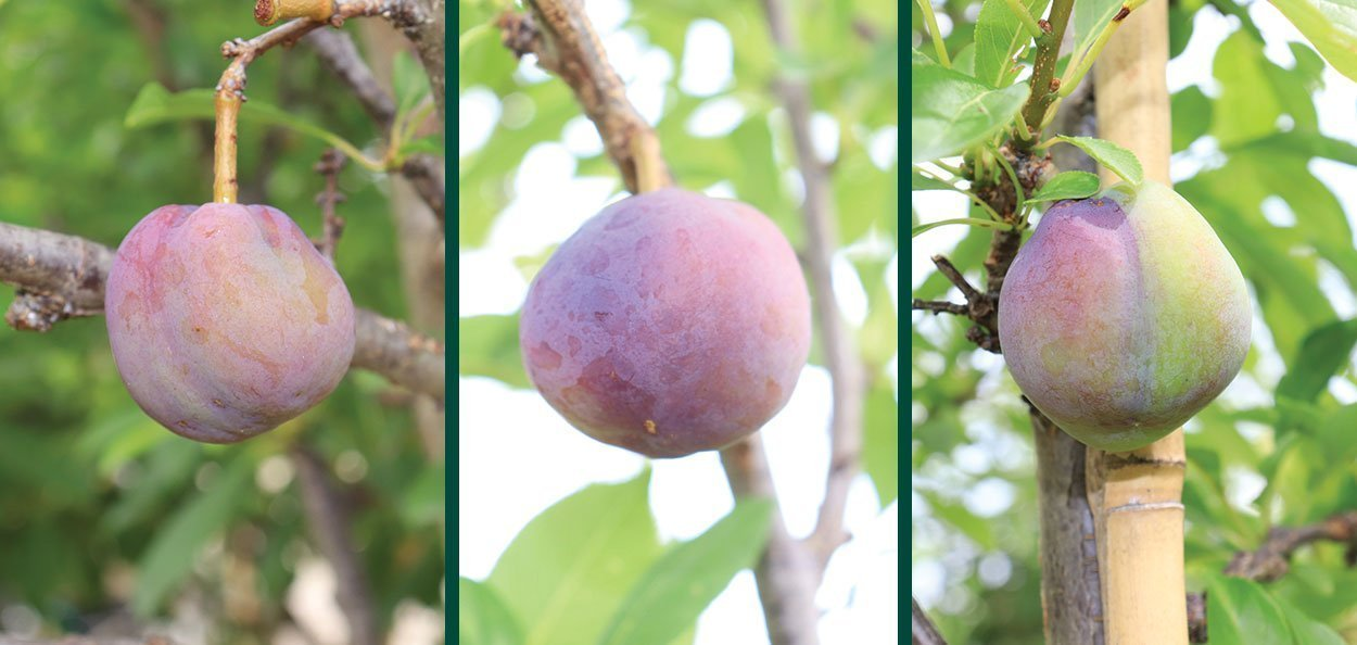 blackice plum prunus lydecker fruit trees home orchard fruits in wisconsin
