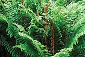 cinnamon fern osmunda cinnamomea wisconsin native ferns johnson's nursery catalog