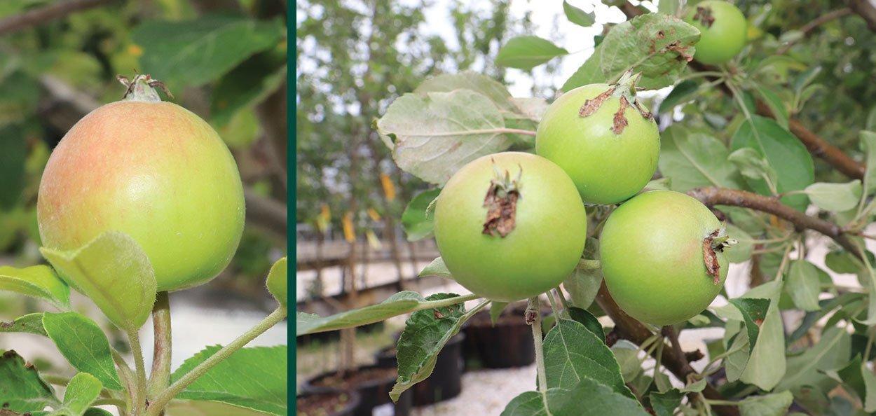 honeycrisp apple malus domestica fruit tree milwaukee wisconsin