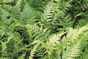lady fern athyrium filix-femina wisconsin native perennial ferns catalog