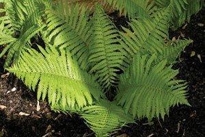 ostrich fern matteuccia struthiopteris wisconsin native fern ferns catalog