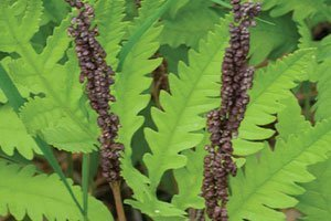 sensitive fern onoclea sensibilis wisconsin native ferns perennial bead catalog