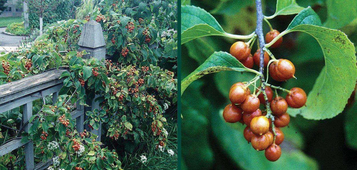 american bittersweet celastrus scandens fruiting fence vine orange fruits