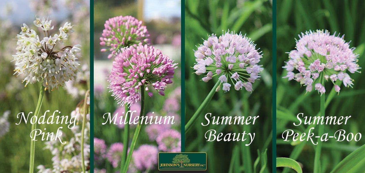 comparing the summer flowers of ornamental onion allium at johnson's nursery in menomonee falls