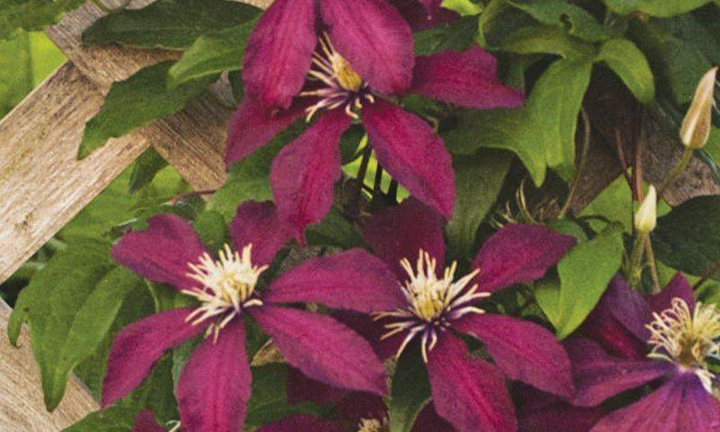find grow clematis flowering vines at johnson's nursery in menomonee falls ftimg