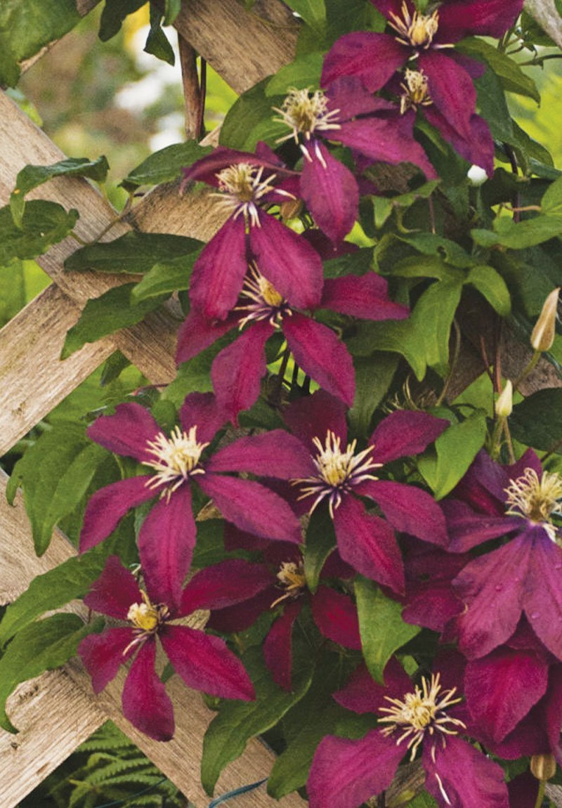 find grow clematis flowering vines at johnson's nursery in menomonee falls ftimg
