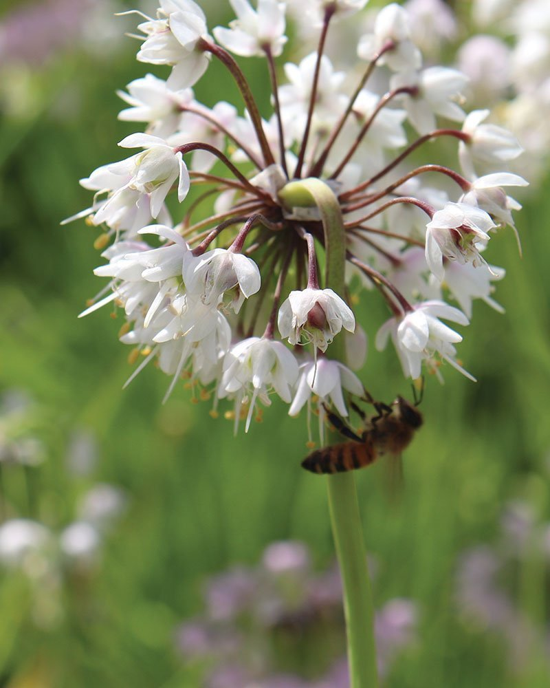 find ornamental onion alliums at johnson's nursery in menomonee falls ftimg