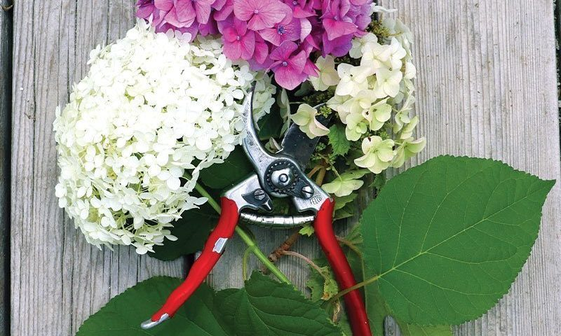 prune your hydrangea how to ftimg