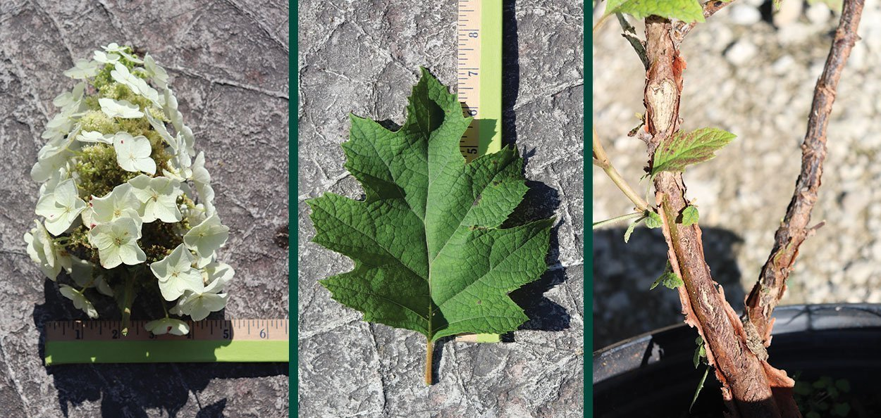prune your hydrangeas oakleaf quercifolia pee wee bloom flower leaf stem