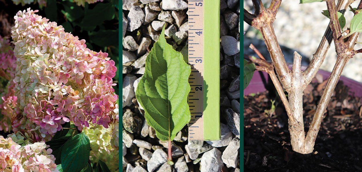 prune your hydrangeas panicle paniculata vanilla strawberry bloom flower leaf stem