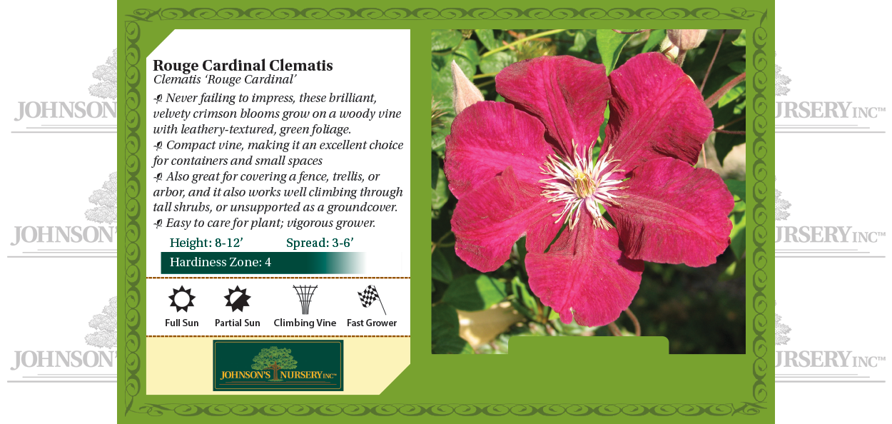 rouge cardinal clematis vines at johnson's nursery benchcard
