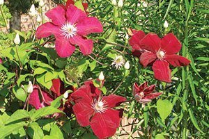 rouge cardinal clematis vines at johnson's nursery catalog