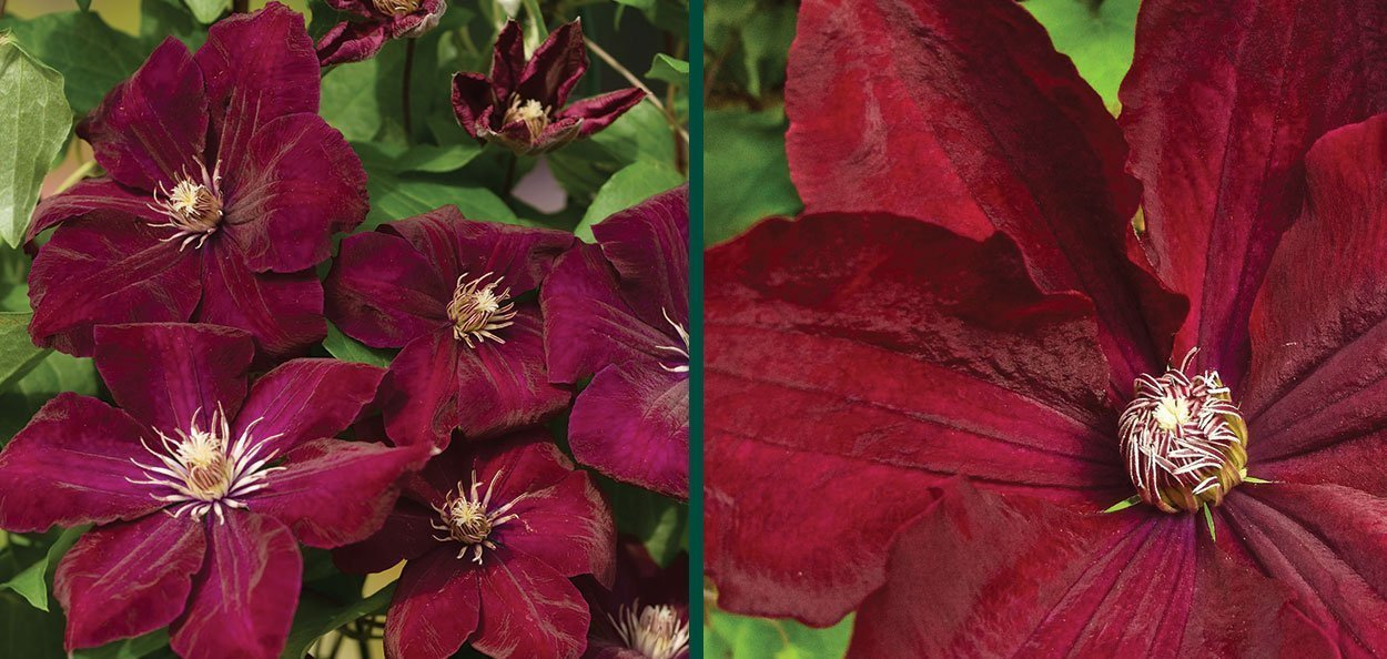 rouge cardinal clematis vines with maroon flowers near you