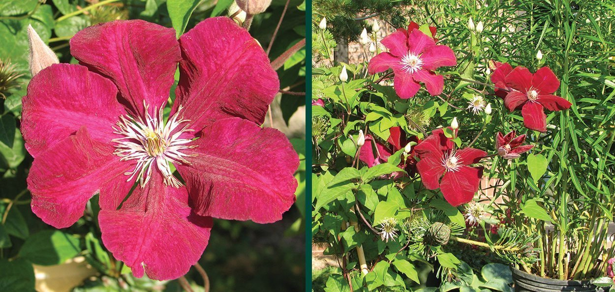 rouge cardinal clematis vines with red flowers