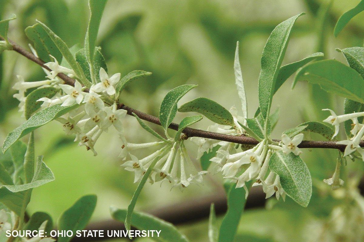 autumn olive russian elaeagnus umbellata zone 5 potential invasives