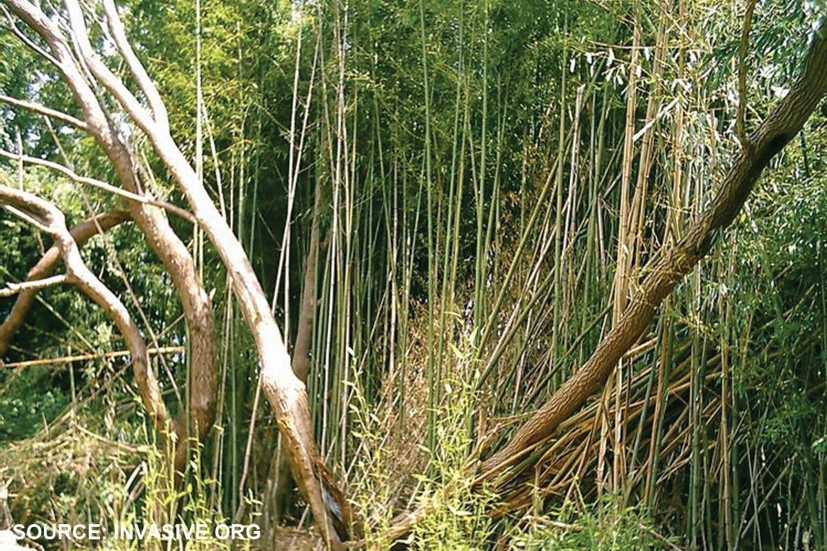 bamboo phyllostachys zone 5 potential invasives