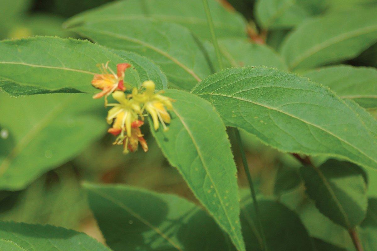diervilla lonicera wisconsin native honeysuckle shrub