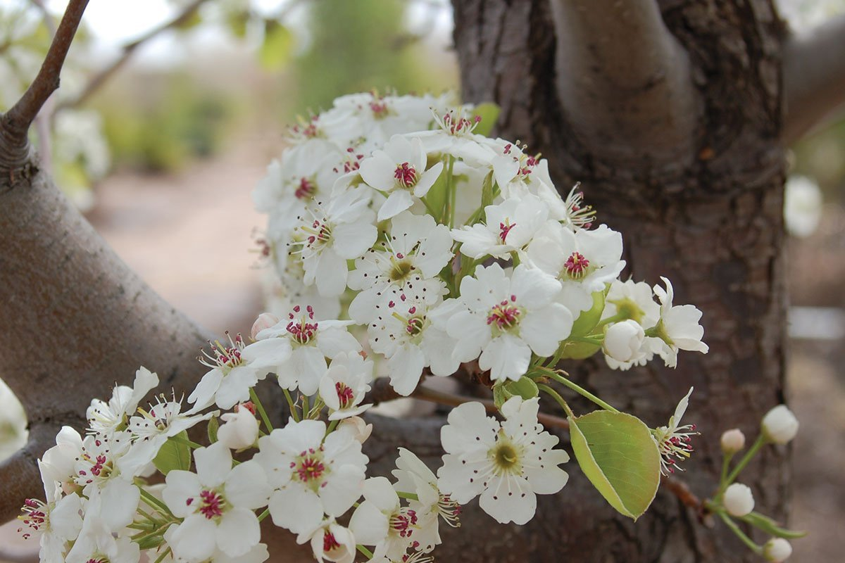 pyrus calleryana cleveland select pear flower johnson's nursery