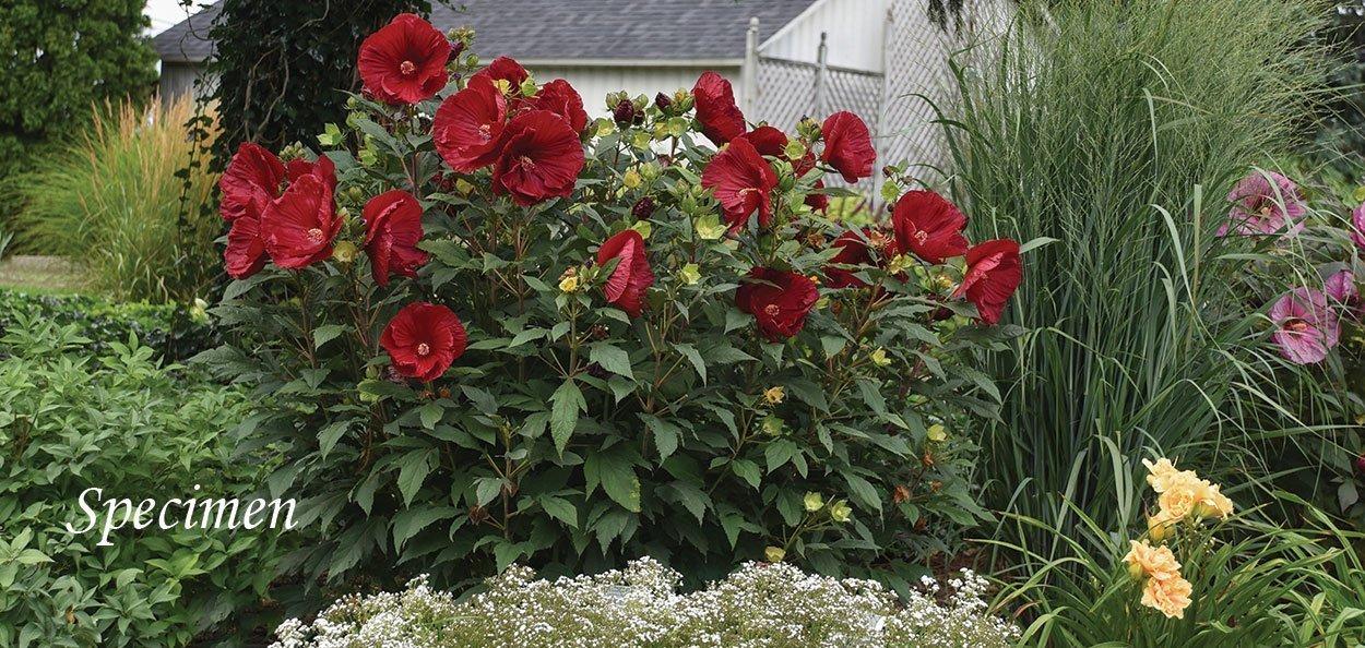 summerific series hibiscus cranberry crush as a specimen