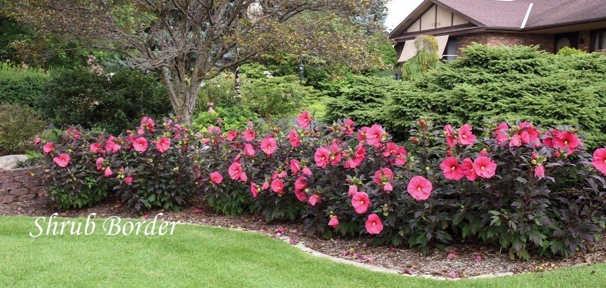 summerific series hibiscus evening rose as a shrub border