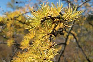 tamarack larix laricina eastern larch yellow fall color catalog