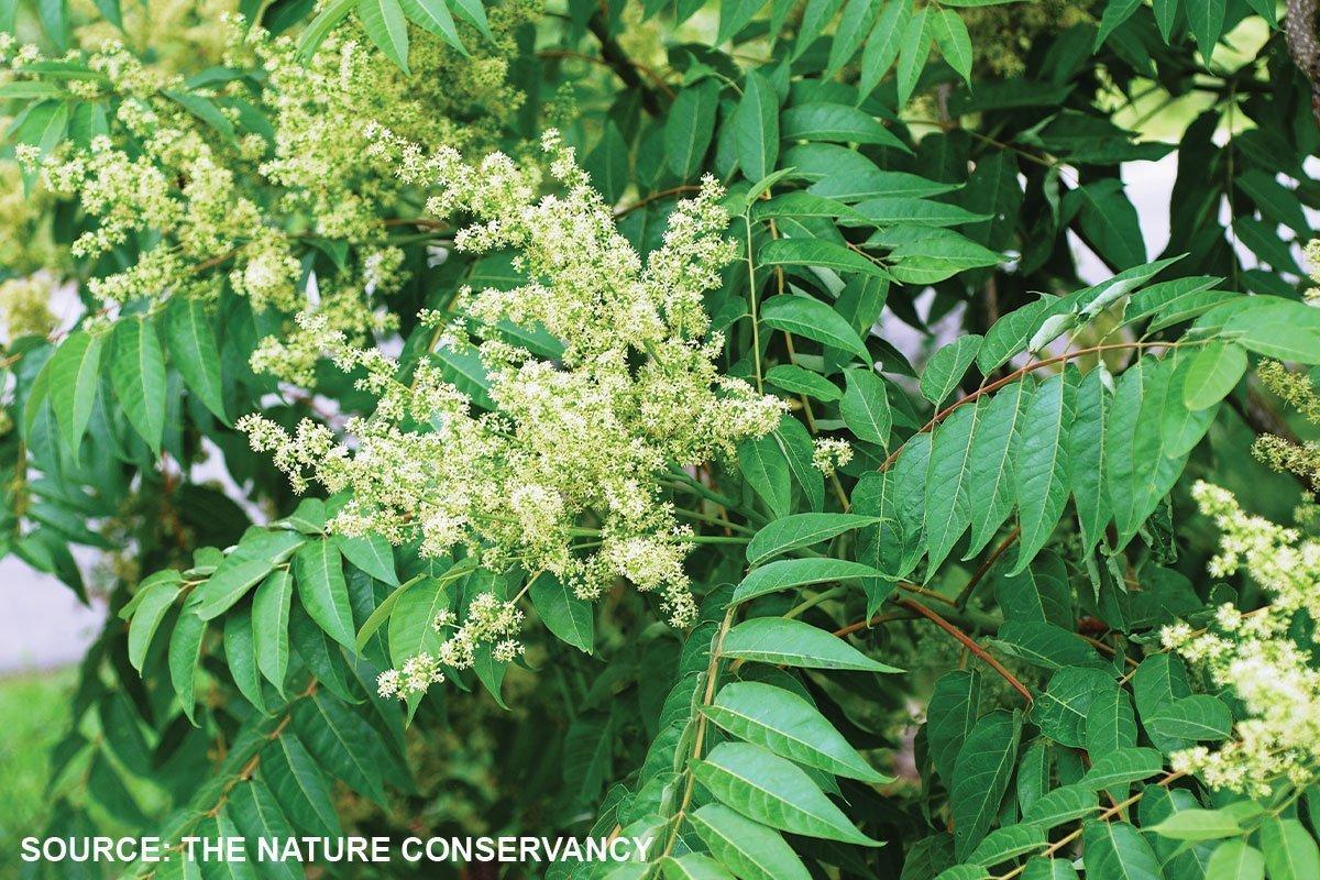 tree of heaven ailanthus altissima zone 5 potential invasives