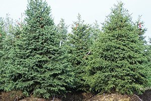 top selling evergreens black hills spruce picea glauca densata at johnson's nursery wisconsin catalog