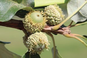 top selling best trees bur oak quercus macrocarpa wisconsin native tree catalog