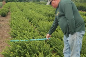top selling evergreens densi yew taxus media densiformis conifer evergreens at johnson's nursery catalog