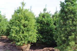 easter white pine pinus strobus at johnson's nursery wisconsin native evergreens catalog