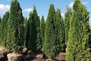 emerald arborvitae thuja occidentalis at johnson's nursery 8 foot B&B catalog