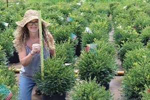 find green gem boxwood buxus at johnson's nursery in wisconsin catalog