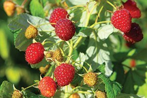 top selling fruit tree heritage raspberry rubus fruiting shrubs near me at johnson's nursery catalog
