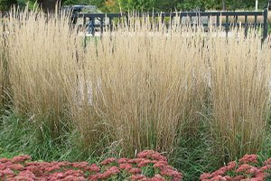 top selling perennial flower karl foerster feather reed grass calamagrostis acutiflora catalog