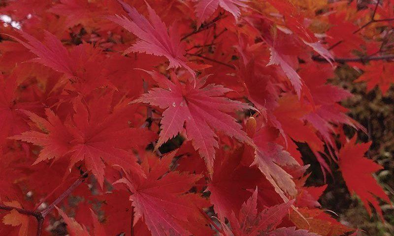 korean maple acer pseudosieboldianum at johnson's nursery ftimg