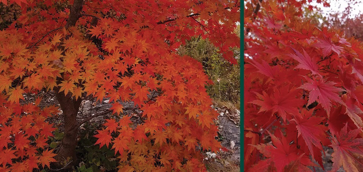 korean maple acer pseudosieboldianum fire red fall color leaves
