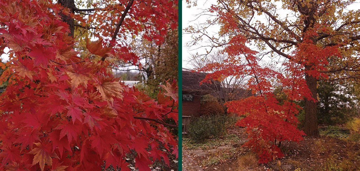 korean maple acer pseudosieboldianum red fall color unpruned tree