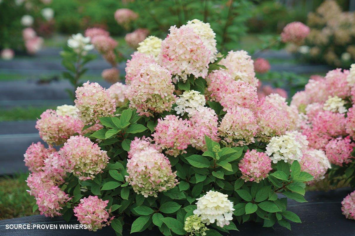 new plants 2021 hydrangea paniculata fire light tidbit smallest hydrangea on the market