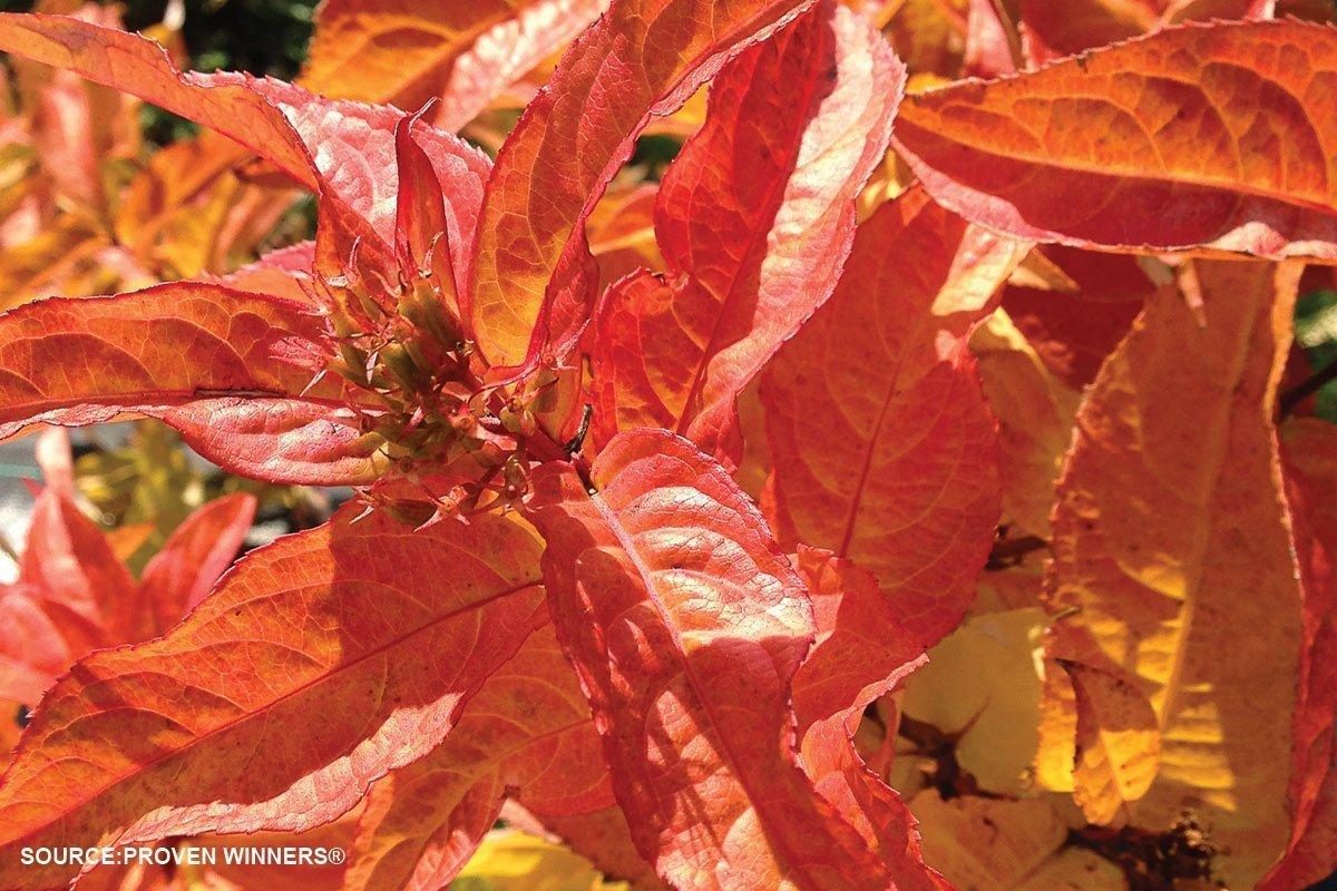 new plants 2021 kodiak orange diervilla shrub at johnson's nursery