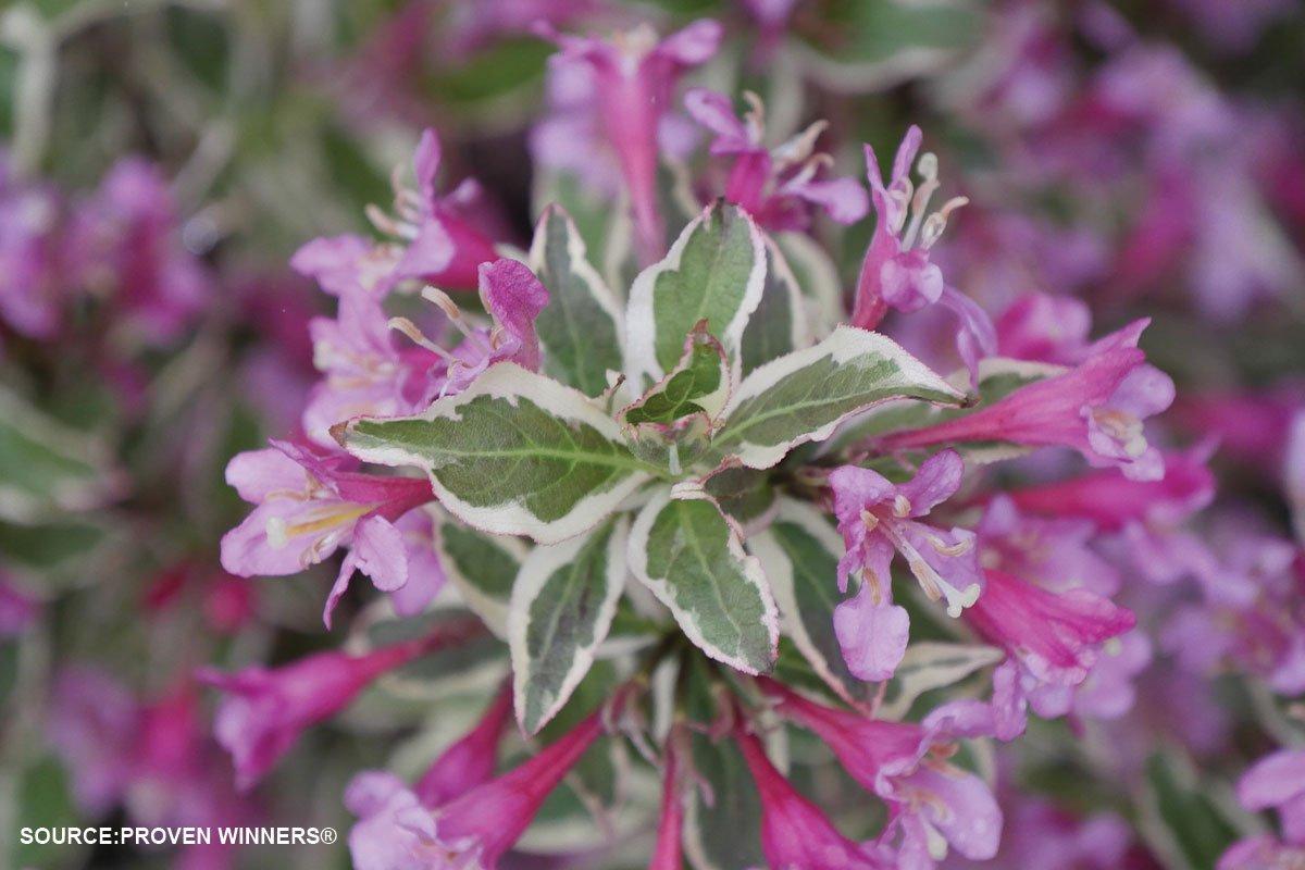 new plants 2021 my money purple effect weigela florida verweig at johnson's nursery