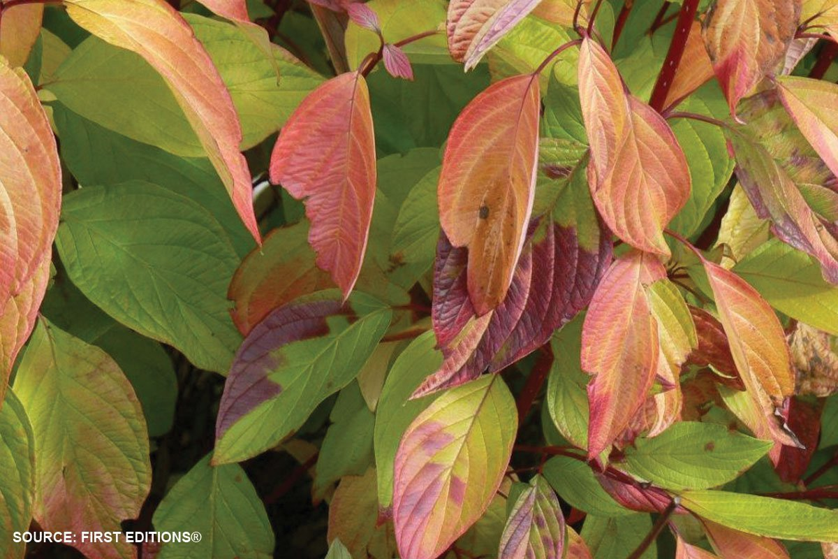 new plants 2021 neon burst dogwood cornus alba byboughen