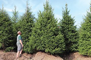top selling evergreens norway spruce picea abies at johnson's nursery 12 foot B&B erik catalog