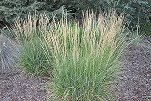 overdam feather reed grass calamagrostis acutiflora johnson's nursery grasses catalog