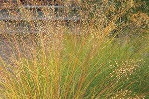 prairie dropseed sporobolus heterolepis catalog
